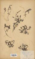 https://bibliotheque-virtuelle.bu.uca.fr/files/fichiers_bcu/Scrophulariaceae_Linaria_alpina_CLF114585.jpg