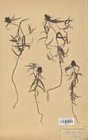 https://bibliotheque-virtuelle.bu.uca.fr/files/fichiers_bcu/Scrophulariaceae_Melampyrum_cristatum_CLF114512.jpg