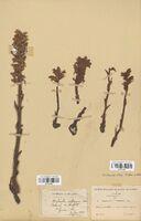 https://bibliotheque-virtuelle.bu.uca.fr/files/fichiers_bcu/Orobanchaceae_Orobanche_epithymum_CLF114460.jpg