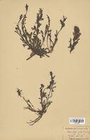 https://bibliotheque-virtuelle.bu.uca.fr/files/fichiers_bcu/Scrophulariaceae_Pedicularis_sylvatica_CLF114496.jpg