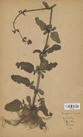 https://bibliotheque-virtuelle.bu.uca.fr/files/fichiers_bcu/Scrophulariaceae_Scrophularia_aquatica_CLF114572.jpg
