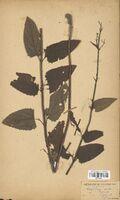 https://bibliotheque-virtuelle.bu.uca.fr/files/fichiers_bcu/Scrophulariaceae_Scrophularia_nodosa_CLF114574.jpg