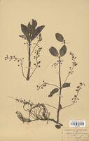 https://bibliotheque-virtuelle.bu.uca.fr/files/fichiers_bcu/Scrophulariaceae_Veronica_beccabunga_CLF114543.jpg