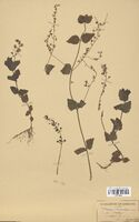 https://bibliotheque-virtuelle.bu.uca.fr/files/fichiers_bcu/Scrophulariaceae_Veronica_chamaedrys_CLF114542.jpg