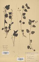 https://bibliotheque-virtuelle.bu.uca.fr/files/fichiers_bcu/Scrophulariaceae_Veronica_montana_CLF114544.jpg