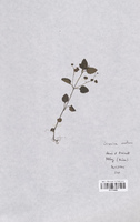 https://bibliotheque-virtuelle.bu.uca.fr/files/fichiers_bcu/Scrophulariaceae_Veronica_montana_CLF114538.jpg