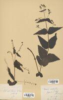 https://bibliotheque-virtuelle.bu.uca.fr/files/fichiers_bcu/Scrophulariaceae_Veronica_urticifolia_CLF114539.jpg