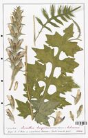 Acanthus hungaricus  (Acanthacees)