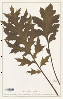 Acanthus mollis  (Acanthacees)