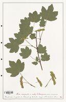 Acer campestre  (Aceracees)