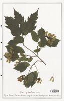 Acer glabrum  (Aceracees)