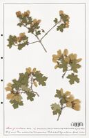 Acer granatense  (Aceracees)
