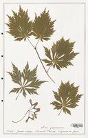 Acer japonicum  (Aceracees)