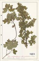 Acer monspessulanum  (Aceracees)
