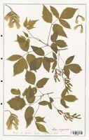 Acer negundo  (Aceracees)