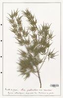 Acer palmatum  (Aceracees)