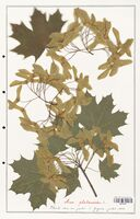 Acer platanoides  (Aceracees)