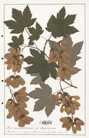 Acer pseudoplatanus  (Aceracees)