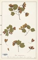 Acer sempervirens  (Aceracees)