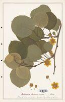 Actinidia chinensis  (Actinidiacees)
