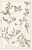 Aizoon hispanicum  (Aizoacees)
