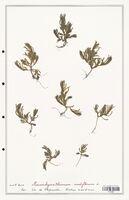 Mesambryanthemum nodiflorum  (Aizoacees)