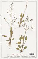 Alisma lanceolatum  (Alismacees)