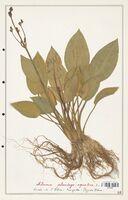 Alisma plantago_aquatica  (Alismacees)