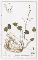 Caldesia parnassifolia  (Alismataceae)