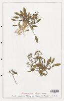 Damasonium alisma  (Alismataceae)
