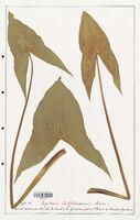 Sagittaria latifolia  (Alismataceae)