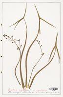 Sagittaria sagittifolia  (Alismataceae)
