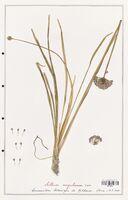 Allium angulosum  (Alliacees)