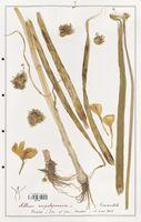 Allium ampeloprasum  (Alliacees)