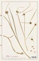 Allium carinatum  (Alliacees)