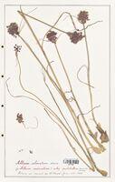Allium coloratum  (Alliacees)