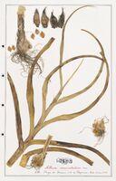 Allium commutatum  (Alliacees)