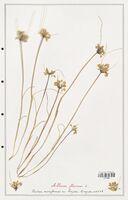 Allium flavum  (Alliacees)