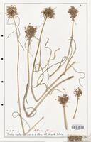 Allium flescuosum  (Alliacees)