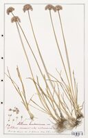 Allium lusitanicum  (Alliacees)