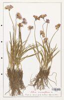 Allium narcissiflorum  (Alliacees)