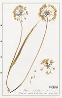 Allium neapolitanum  (Alliacees)