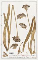 Allium nigrum  (Alliacees)