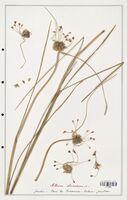 Allium oleraceum  (Alliacees)