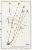 Allium paniculatum  (Alliacees)