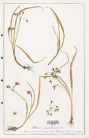 Allium pendulinum  (Alliacees)