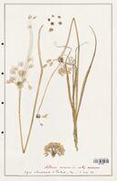 https://bibliotheque-virtuelle.bu.uca.fr/files/fichiers_bcu/Alliacees_Allium_roseum_CLF114692.jpg