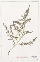 https://bibliotheque-virtuelle.bu.uca.fr/files/fichiers_bcu/Amanrathacees_Amaranthus_albus_CLF114720.jpg