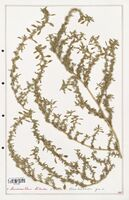 https://bibliotheque-virtuelle.bu.uca.fr/files/fichiers_bcu/Amanrathacees_Amaranthus_blitoides_CLF114725.jpg