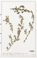 https://bibliotheque-virtuelle.bu.uca.fr/files/fichiers_bcu/Amanrathacees_Amaranthus_blitum_CLF114726.jpg